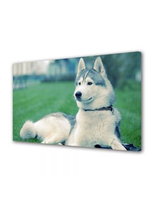 Tablou Canvas Luminos in intuneric VarioView LED Animale Husky pe iarba