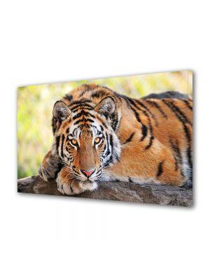 Tablou Canvas Animale Tigru tanar