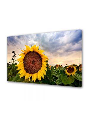 Tablou Canvas Flori Camp de floarea soarelui